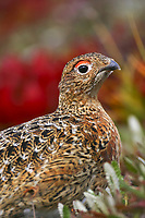 Willow Ptarmigan in autumn tundra, Denali National Park, Alaska