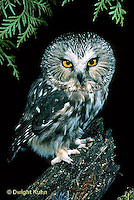 OW02-046a  Saw-whet owl - sitting on branch - Aegolius acadicus