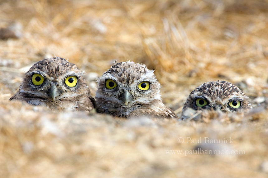 Three Burrowing Owl fledglings, Athene cunicularia, wait to receive food from a parent in Santa Clara County, California.