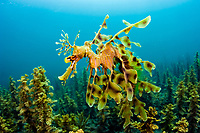 leafy seadragon, Phycodurus eques, male, carrying eggs, swimming over seagrass and kelp near the jetty. Edithburgh, South Australia