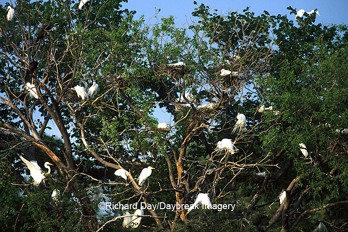 00688-017.20  Great Egret (Ardea alba) rookery-nesting colony Fergus Falls  MN