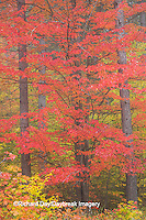 64776-01412 Red tree and fall color Schoolcraft County Upper Peninsula Michigan