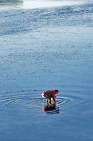 Woman digging for clams in Tallamook Bay. Garibaldi. Oregon
