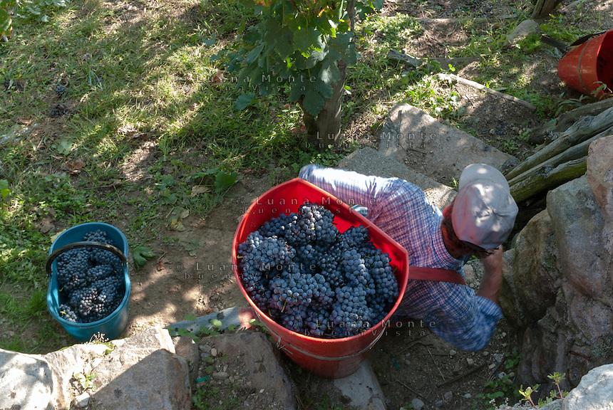Vendemmia in Valtellina. Ponte in Valtellina, 15 settembre, 2007<br /> <br /> Grape harvest in Valtellina. Ponte in Valtellina, September 15, 2007