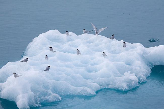 Arctic terns rest on a piece of iceberg ice by Lilliehookbreen. Spitsbergen