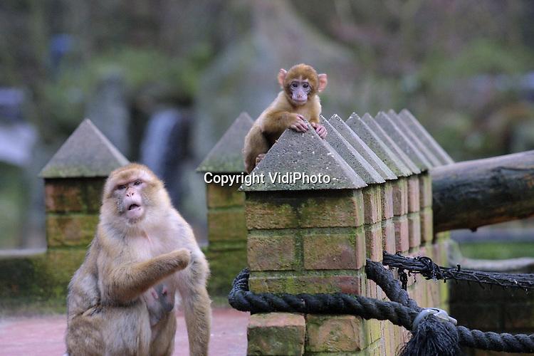 Foto: VidiPhoto..AMERSFOORT - Door het zachte weer raken ook de apen in Dierenpark Amersfoort enigszins van slag. Ze zijn actiever dan normaal. En ook hun paringsdriften werken volop. Zelfs de half jaar oude dieren worden aan een nader 'onderzoek' onderworpen. Foto's: Eerst vangen, de juiste positie innemen en een afwerkplek zoeken.