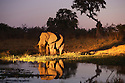 Botswana, Okavango Delta, Moremi Game Reserve, African elephant bull (Loxodonta africana) feeding at dusk