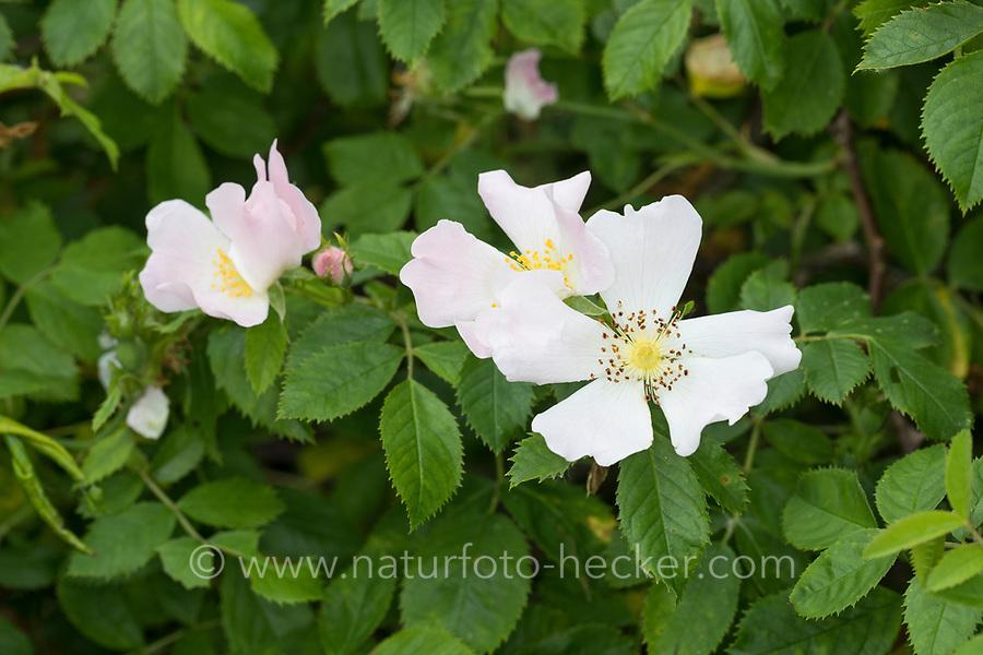 Stumpfblättrige Rose, Flaum-Rose, Flaumrose, Rosa tomentella, Round-leaved Dog Rose, Rosier à feuilles obtuses, Rosa a foglie ottuse