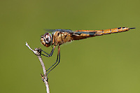 388550021 a wild female red saddlebags dragonfly tramea onusta perches on a dead flower stem at southeast regional park austin travis county texas