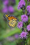2987-HL(CK) Monarch, Danaus plexippus, on Rough Blazing Star, Liatris aspera, in Maplewood, Minnesota