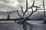 USA, Alaska, Girdwood, carabou grazing inside the Alaska Wildlife Conservation Center