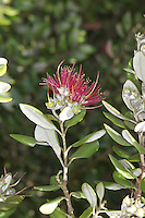 Metrosideros kermadecensis Height to 15m. Evergreen tree, native to Kermadec Islands in Pacific, but widely planted for its ornamental value. Leaves are oval and leathery. Flowers comprise a mass of red stamens.