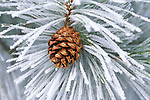 Ponderosa Pine cone and frost covered pine needles