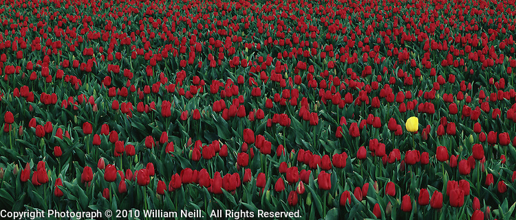 Field of red tulips, Skagit River Valley, Mount Vernon, Washington