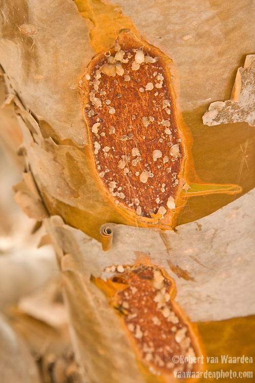Sap from the Frankincense tree in Oman. Frankincense is an aromatic resin obtained from trees of the genus Boswellia.