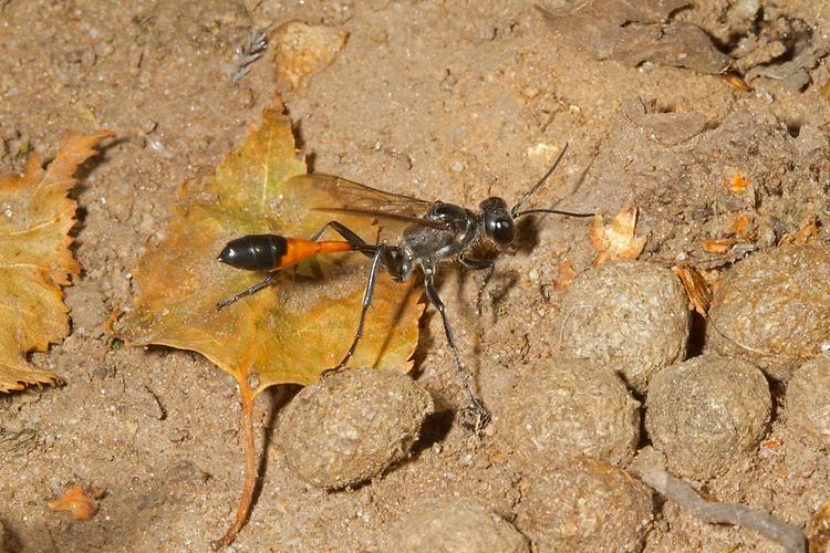 Red-banded Sand Wasp - Ammophila sabulosa