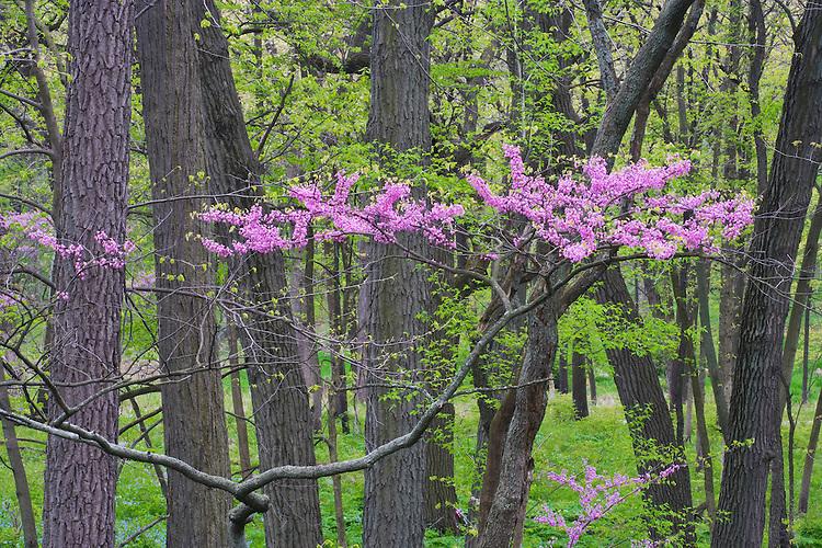 Redbud tree in bloom at The Morton Arboretum; Lisle, IL