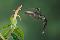 "Green Hermit, Phaethornis guy, male in flight feeding on ""Snakeface"" flower , Central Valley, Costa Rica, Central America, December 2006"