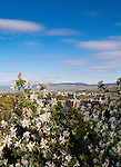 Service berry blossoms on Mount Sentinel above Missoula, Montana