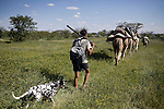KUNENE, NAMIBIA - APRIL 17: Rudy Loutit, age 64, a park ranger, walks with his Dalmatian dogs with a camel caravan on April 17, 2008 in Kunene, close to the border of Etosha national park in Namibia. Mr. Loutit did a 2-week survey with a walking safari with camels and a crew through 155 miles of proposed parkland through the savanna at Etosha National park, through rocky badlands, across the world's oldest desert, the Namib and the blinding dunes and fogy cliffs at Skeleton Coast on the Atlantic Ocean. Rudy has worked for over three decades to save the black rhinoceros from extinction through his organization, Save The Rhino Trust. The black rhino is now brought back from certain extinction and more than one hundred fifty of them roam this remote area. (Photo by Per-Anders Pettersson)...