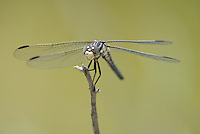 389270006 a wild female bleached skimmer libellula composita perches on a dead twig at blackrock springs inyo county california