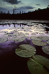 Lilly pads on English Lake in Northern Wisconsin.