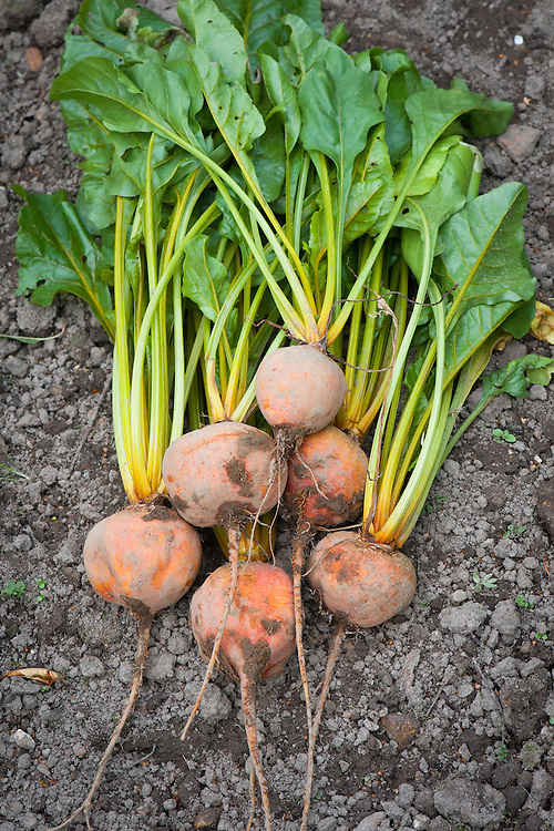 Beetroot 'Boldor', mid October. A golden variety recently introduced by Dutch plant breeder Bejo Zaden.