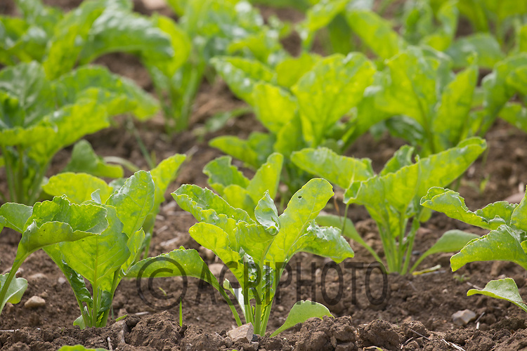 Sugar beet plants growing <br /> ©Tim Scrivener Photographer 07850 303986<br /> ....Covering Agriculture In The UK....