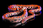 Brazilian Rainbow Boa Constrictor (Epicrates cenchria cenchria) Captive snake, photographed on black glass.