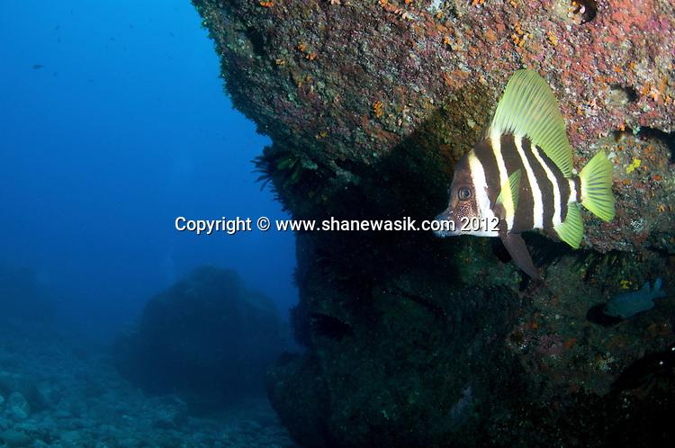 Striped Boardfish (Evistias acutirostris) at the Meyer Islets, Kermadec Island, New Zealand.