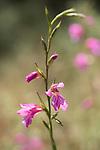 Wild Gladiolus, Gladiolus illyricus, Ria Formosa East, Algarve, Portugal, flower meadow,
