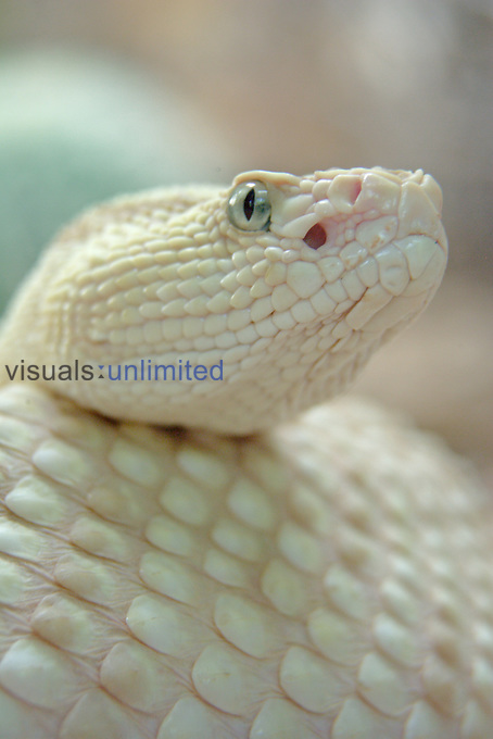 Neotropical Rattlesnake head showing its eye and pit ,Crotalus durissus,.
