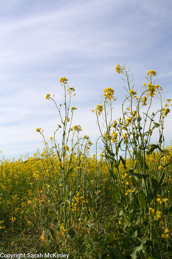 A couple tall mustard plants in the foreground with a field of yellow mustard and a blue sky streaked with white clouds in the background.