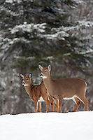 Whitetail Doe with Fawn Snow #D7