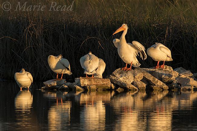 American White Pelicans (Pelecanus erythrorhynchus) group roosting on rocks at water's edge, late spring, Bear River Migratory Bird Refuge, Utah, USA