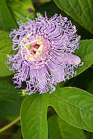 Passiflora incarnata Maypop Passionflower in exotic lavender purple bloom, climbing vine