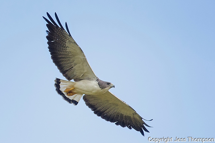 White-tailed Hawk 0157, Laguna Seca Ranch, Edinburgh, Texas