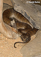0122-08ww  Northern Death Adder - Acanthophis antarcticus © David Kuhn/Dwight Kuhn Photography