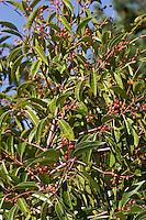 Portugiesische Lorbeer-Kirsche, Iberische Lorbeer-Kirsche, Lorbeerkirsche, Früchte, Prunus lusitanica, Portugal Laurel, Laurier du Portugal