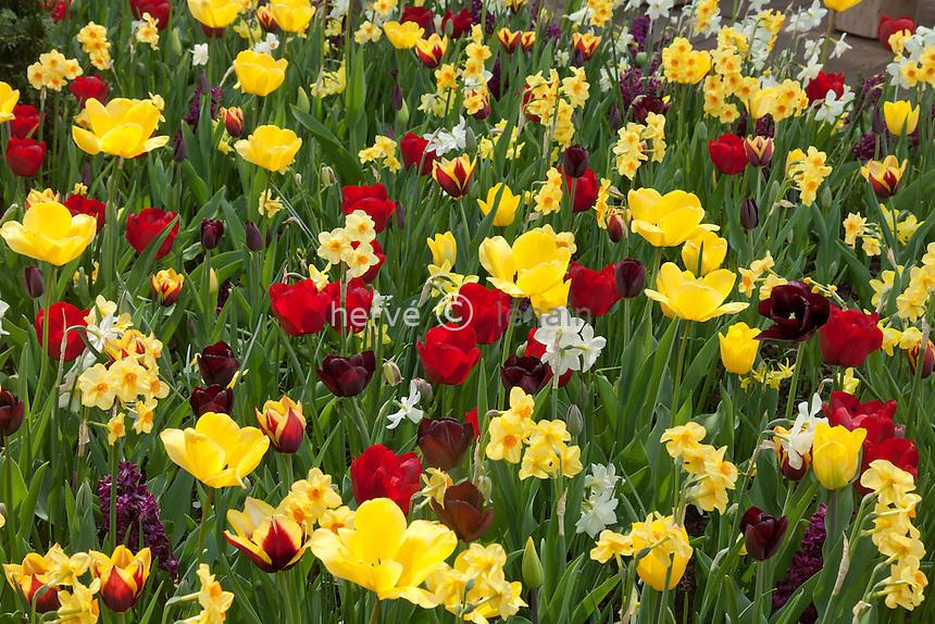 Hollande, région des champs de fleurs, Lisse, Keukenhof, tulipes et marcisses // Flowerbed with tulips and daffodils.