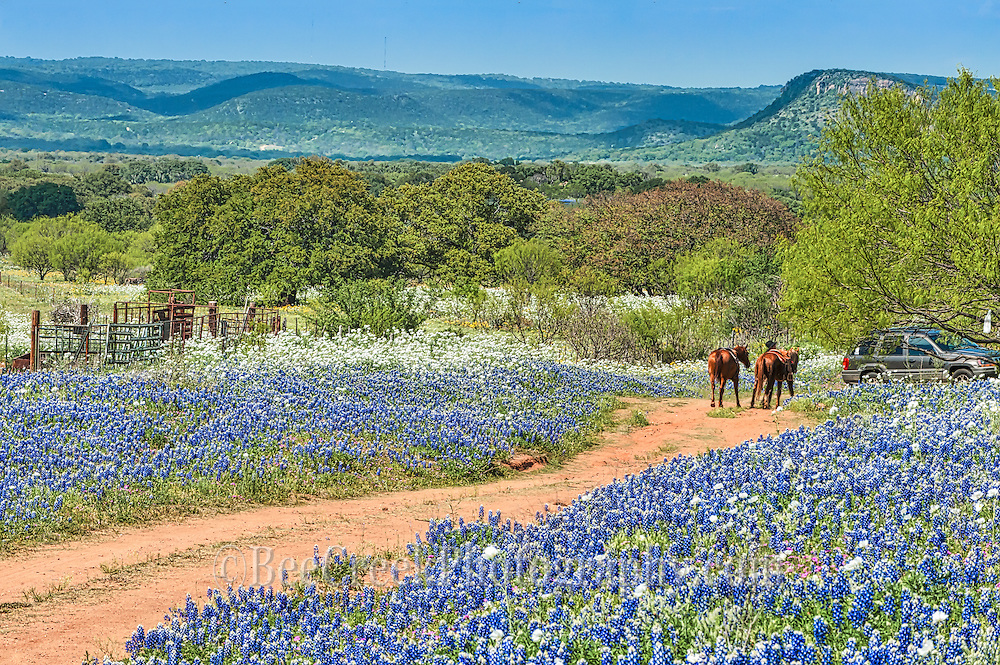 The cowboys were out riding along in the bluebonnets and poppies that were so abundant this year.  Not every year is a bumper crop but this one was.  They finished their ride and went and sat under a mesquite tree to watch the tourist as they came through looking at the flowers.