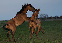 Yearlings learn to fight by testing each other.  These wild horses are part of the Gila herd in North Dakota.<br /> Karen Sussman with International Society for the Protection of Mustangs and Burros--the organization that Wild Horse Annie started when lobbying congress in the '70s to save mustangs and burros. Gila Herd were rescued off land in Arizona.  They are bay colored with a dark mane and shorter broom tail.  They other distinctive markings are small stripes on the lower legs and a dark dorsal stripe.  The original 31 horses were gathered in 1999 the BLM.  Local ranchers recall the horses hiding in the Salt Cedar in 1904.  They have been tested genetically and are remnants of the horses from the Spanish conquistadors.