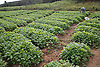 Tobacco seedlings growing on farm near Vinales; Cuba; prior to planting out,