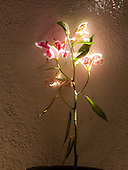 """Spoleto, Italy. Flowering plant in shaft of sunlight in private villa. Plant is a Stargazer Lily (Lilium """"Stargazer""""), a hybrid lily of the Oriental group. ID: AG-FM_0253 / AG-FM and AL-DC. © Ellen B. Senisi"""
