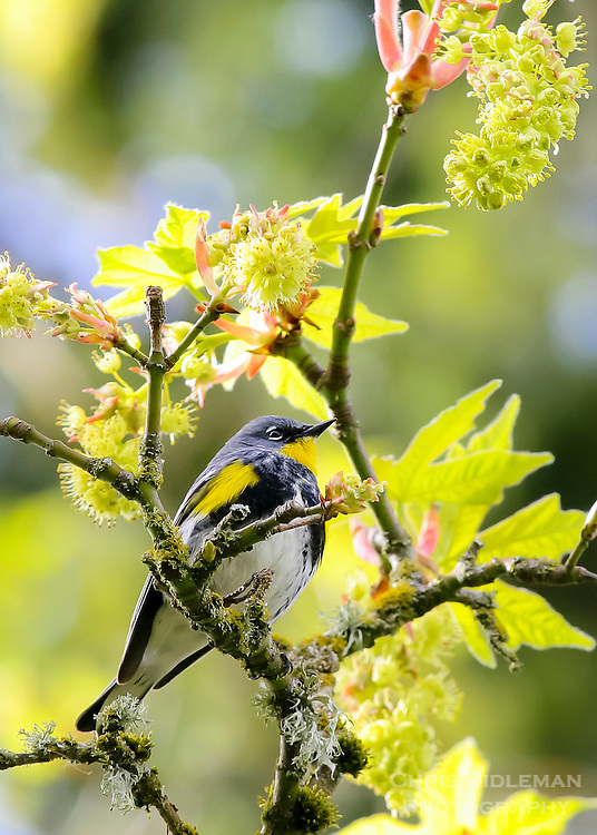 Audubon warbler also known as a yellow-rump warbler Audubon sitting on a branch