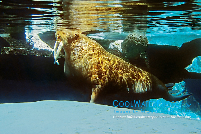 Picture of walrus, Odbenus rosmarus, northern Pacific and Atlantic Ocean (c)