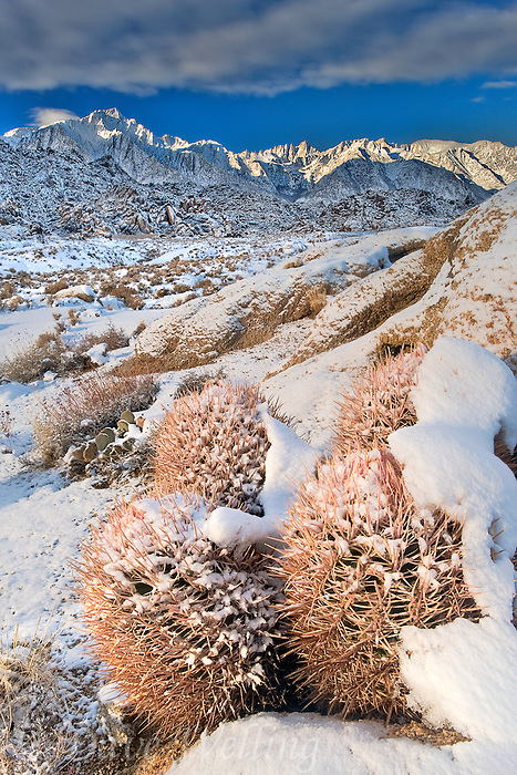 711700269 Snow Covered Cactus and Granite Boulders _DLW3181-82.Alabama Hills.Eastern Sierras, BLM Lands, California