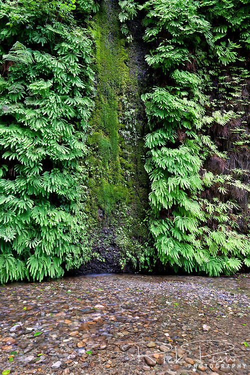 Home Creek flows past the fern and moss covered walls of Fern Canyon in Northern California's Prairie Creek Redwoods State Park. Prairie Creek Redwoods State Park is located in Humboldt County, California, 50 miles north of Eureka near the town of Orick, and is a coastal sanctuary for old-growth Coast Redwood trees.