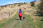 Woman walking dog on lead past sheep,  Cherhill Downs, Wiltshire, England, UK