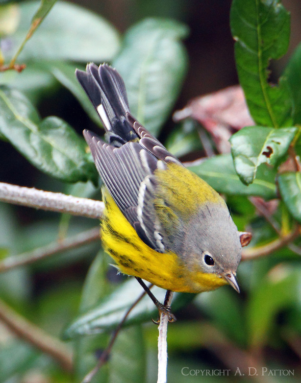 Male magnolia warbler in fall migration